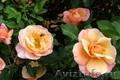 Розы, хосты, пионы, клематисы, виола, петунии, бакопа, герань