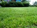 Реализуем оптом луговые,  кормовые и газонные травосмеси