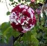 Саженцы роз коллекционных сортов