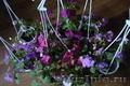 Бальзамины многолетние цветущие