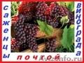 Саженцы винограда от производителя.