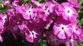 Хризантема,  флоксы,  всё зимостойко,  сам выращиваю