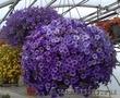 Рассада цветов, кашпо, саженцы декоративных растений