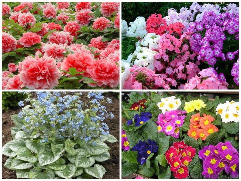 Многолетние садовые цветы неприхотливые с