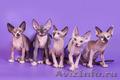 Гуманоид? Котёнок сфинкс! - Изображение #7, Объявление #1322573