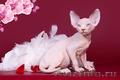 Гуманоид? Котёнок сфинкс! - Изображение #5, Объявление #1322573