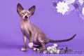 Гуманоид? Котёнок сфинкс! - Изображение #4, Объявление #1322573