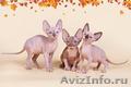Гуманоид? Котёнок сфинкс! - Изображение #3, Объявление #1322573