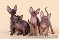 Гуманоид? Котёнок сфинкс! - Изображение #2, Объявление #1322573