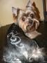 стрижка собак спб. тримминг