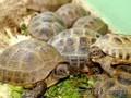 Черепахи сухопутные оптом