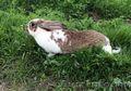 Продаю племенных кроликов крупных мясных пород.Немецкий ризен.