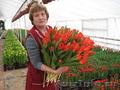 Тюльпаны от производителя к 8 марта - Изображение #2, Объявление #1198674