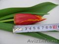 Тюльпаны от производителя к 8 марта - Изображение #6, Объявление #1198674