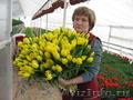 Тюльпаны от производителя к 8 марта - Изображение #3, Объявление #1198674
