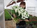 Тюльпаны от производителя к 8 марта - Изображение #4, Объявление #1198674
