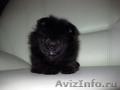 Породистые,  красивые щенки померанского шпица