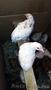 Продам цыплят и инкубационное яйцо Пушкинской породы - Изображение #2, Объявление #1553248