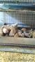 Продам цыплят и инкубационное яйцо Пушкинской породы - Изображение #3, Объявление #1553248