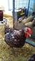 Продам цыплят и инкубационное яйцо Пушкинской породы - Изображение #5, Объявление #1553248