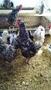 Продам цыплят и инкубационное яйцо Пушкинской породы - Изображение #7, Объявление #1553248