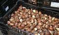 Луковицы тюльпана 12+